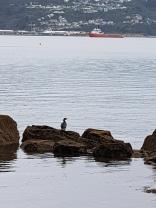seabirds at Oriental Bay