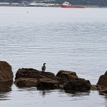 seabirds at Oriental Bay